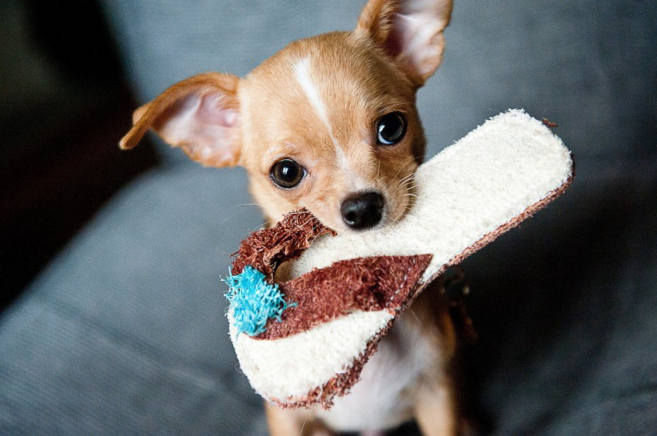 What to feed Chihuahua